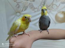 دوعدد طوطی عروس هلندی سخنگو نر در شیپور