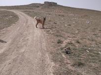 سگ سرابی اصل در شیپور-عکس کوچک