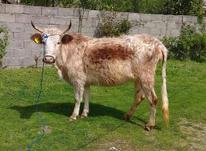 گاو شکمدار  در شیپور-عکس کوچک