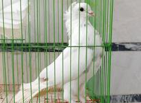 کبوتر کلاهدار در شیپور-عکس کوچک