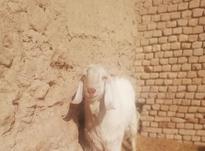یک نربز و یک بز و سه برقاله گمشده در شیپور-عکس کوچک