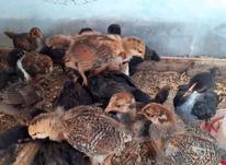 فروش مرغ و خروس و جوجه محلی و گلپایگان در شیپور-عکس کوچک