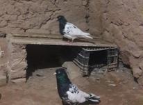 کبوتر جفتی کله سیاه نوک سفید ب شرط تخم در شیپور-عکس کوچک