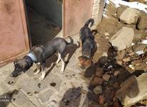 2 تا سگ  دزدیده شده در شیپور-عکس کوچک