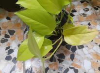 گل آپارتمانی پتوس نئون در شیپور-عکس کوچک