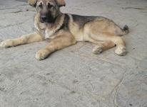 توله سگ چهار ماهه در شیپور-عکس کوچک