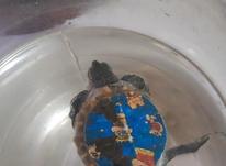 لاک پشت سایز کوچک سالم در شیپور-عکس کوچک