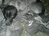 سگ پاکوتاه جنسیت نر هست  در شیپور-عکس کوچک