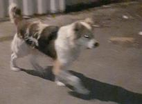 سگ نگهبان و سگ گله فروش فوری در شیپور-عکس کوچک