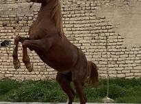 اسب نژاد عرب در شیپور-عکس کوچک