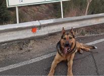 سگ ژرمن شپرد گمشده  در شیپور-عکس کوچک