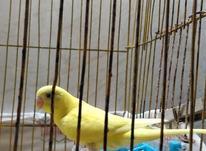 مرغ عشق جوان  در شیپور-عکس کوچک
