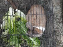 خرگوش ماده باردار  در شیپور