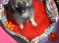 سگ عروسکی پامر در شیپور-عکس کوچک