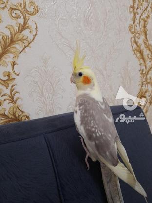 عروس هلندی آهویی ابلغ ماده در گروه خرید و فروش ورزش فرهنگ فراغت در تهران در شیپور-عکس4