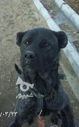 سگ هرکول ... در گروه خرید و فروش ورزش فرهنگ فراغت در زنجان در شیپور-عکس1