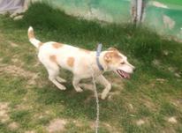 فروش سگ 4ماهه  در شیپور-عکس کوچک