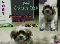 سگ گمشده تریر در شیپور-عکس کوچک