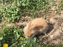 خرگوش مینیاتوری لوپ  در شیپور