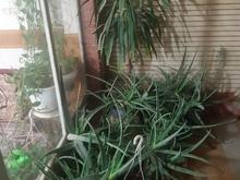 گل یوکا وگل آلوراوگل پیچک  در شیپور