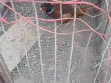فروش قرقاقول  در شیپور