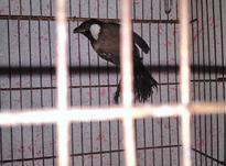 جوجه قناری  در شیپور-عکس کوچک