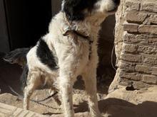 سگ سنگسری گیرنده در شیپور