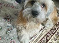 سگ گمشده گمشده  در شیپور-عکس کوچک