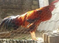 خروس لاری 5 کیلو  در شیپور-عکس کوچک