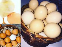 پخش عمده تخم مرغ در شیپور