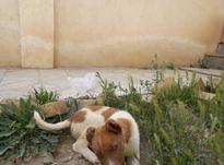 توله سگ زیبا  در شیپور-عکس کوچک