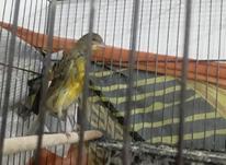 قناری سالم وبخون در شیپور-عکس کوچک