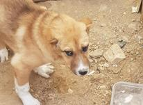 توله ماده به درد بخور در شیپور-عکس کوچک