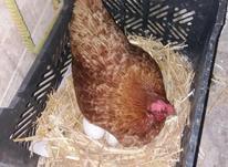 مرغ محلی تخم گذار در شیپور-عکس کوچک
