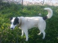 سگ گمشده.. در شیپور-عکس کوچک
