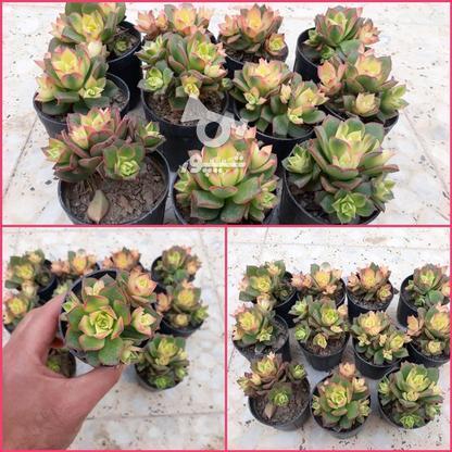 فروش انواع گل و گلدون، پتوس  لیندا، زاموفیلیا  در گروه خرید و فروش خدمات و کسب و کار در اصفهان در شیپور-عکس1
