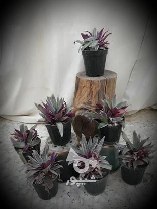 فروش انواع گل و گلدون، پتوس  لیندا، زاموفیلیا  در گروه خرید و فروش خدمات و کسب و کار در اصفهان در شیپور-عکس8