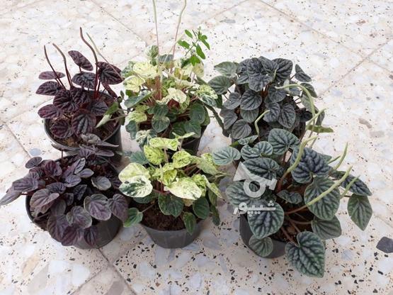 فروش انواع گل و گلدون، پتوس  لیندا، زاموفیلیا  در گروه خرید و فروش خدمات و کسب و کار در اصفهان در شیپور-عکس3