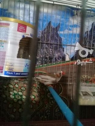 فنچ مولد پنج تخم  در گروه خرید و فروش ورزش فرهنگ فراغت در مرکزی در شیپور-عکس3