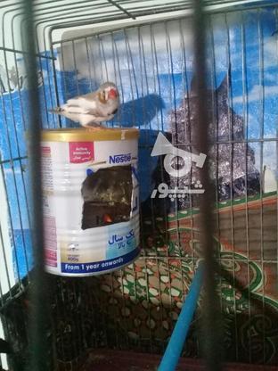 فنچ مولد پنج تخم  در گروه خرید و فروش ورزش فرهنگ فراغت در مرکزی در شیپور-عکس2