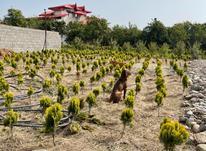 فروش زمین کشاورزی 1250 متر در تنکابن در شیپور-عکس کوچک