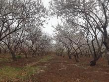 زمین کشاورزی بادام طرح فدک قوچان در شیپور