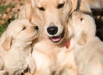 توله گلدن سگ پرستار در شیپور-عکس کوچک
