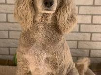 دو عدد سگ نگهبان گمشده  در شیپور