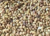 200کیلو بذر(قره)  یونجه  در شیپور-عکس کوچک