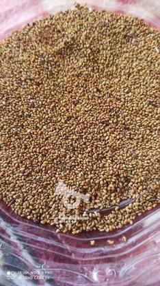 200کیلو بذر(قره)  یونجه  در گروه خرید و فروش خدمات و کسب و کار در آذربایجان شرقی در شیپور-عکس3