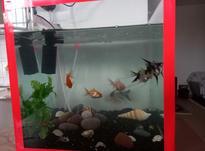 ماهی واکواریوم به همراه کلیه لوازم و3 عدد پمپ هوا وتسویه در شیپور-عکس کوچک