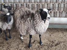 گوسفند رومانوف(رومانف) در شیپور