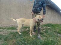 سگ سرابی  توله  نگهبان  در شیپور-عکس کوچک