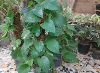 گل آپارتمانی پتوس چوبدار در شیپور-عکس کوچک